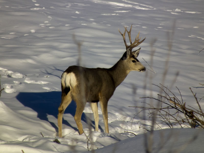Young Mule Deer Buck with Long Cheater in Snow