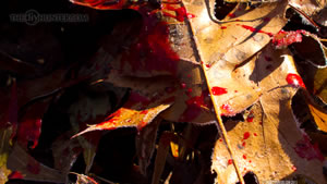 Blood Trail of Whitetail Deer Wallpaper