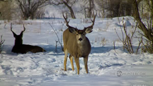 Mule Deer Buck in the Winter of 2011 Wallpaper