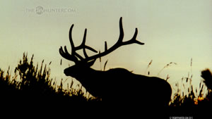 6x6 Bull Elk Wallpaper