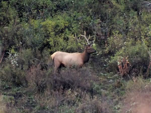 A small 5 point bull elk in the quaking aspens.