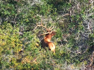 Another view of the 6x6 bull elk i wanted to get with my bow.