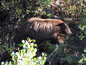 Black Bear I watched whil in my Tree Saddle.