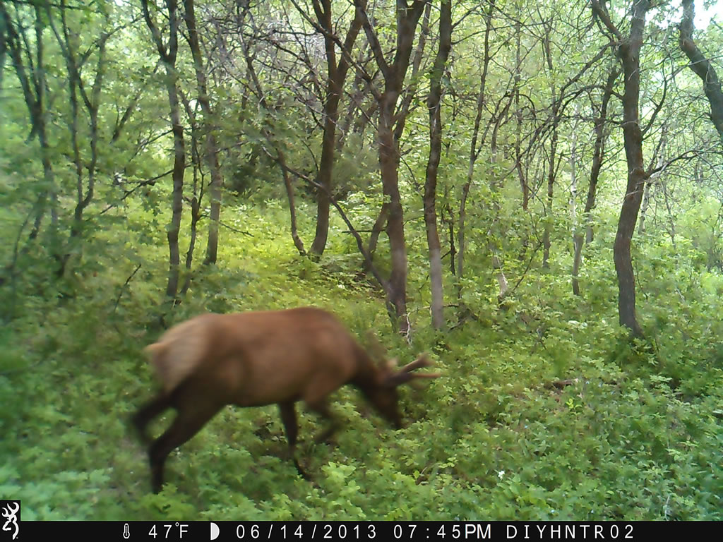 4x4 Bull Elk Browning Range Ops Trail Camera Image 1