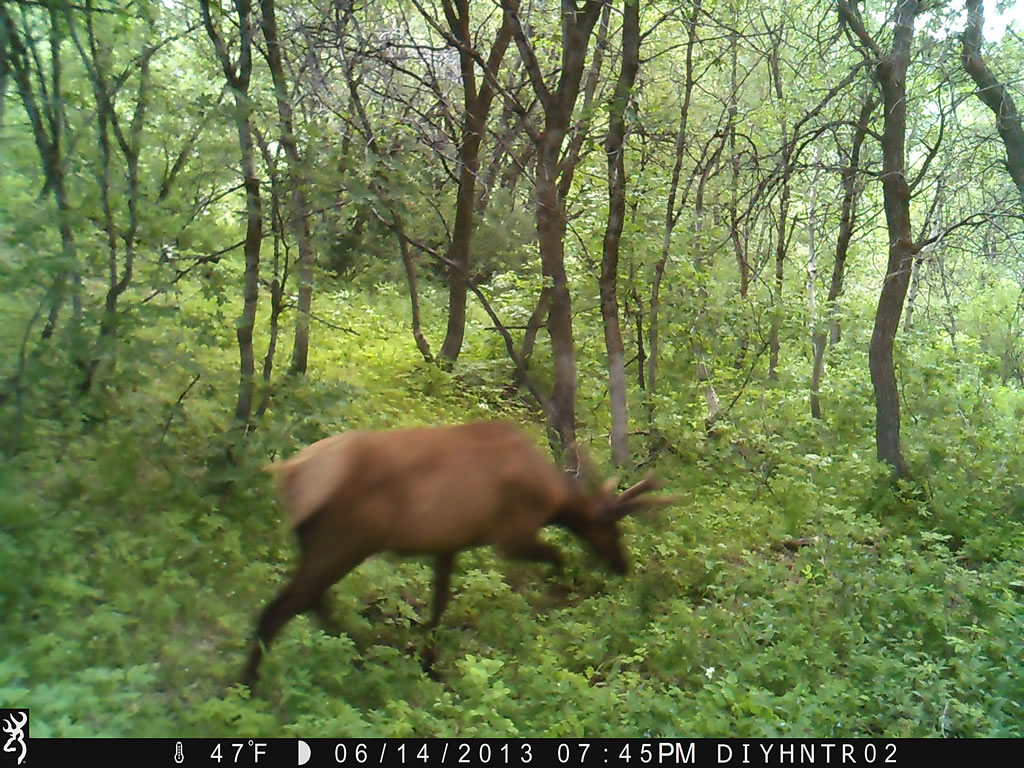4x4 Bull Elk Browning Range Ops Trail Camera Image 2