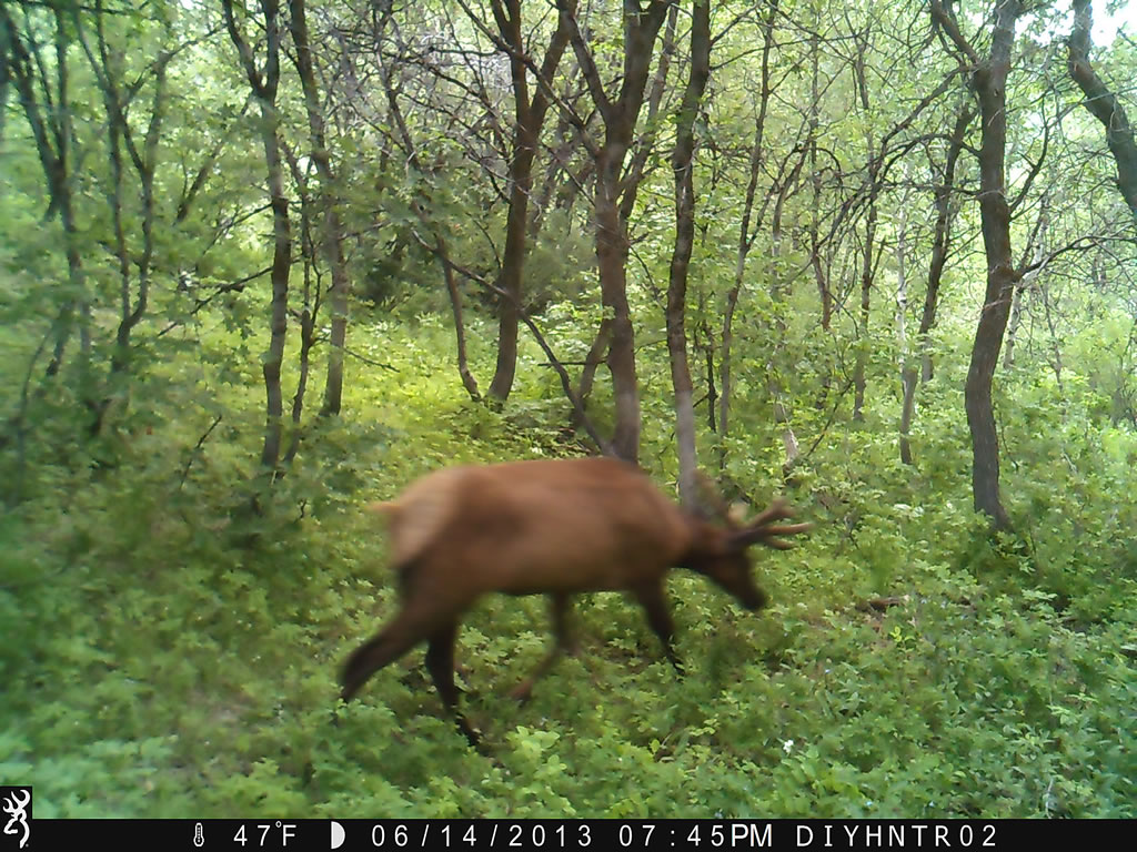 4x4 Bull Elk Browning Range Ops Trail Camera Image 3