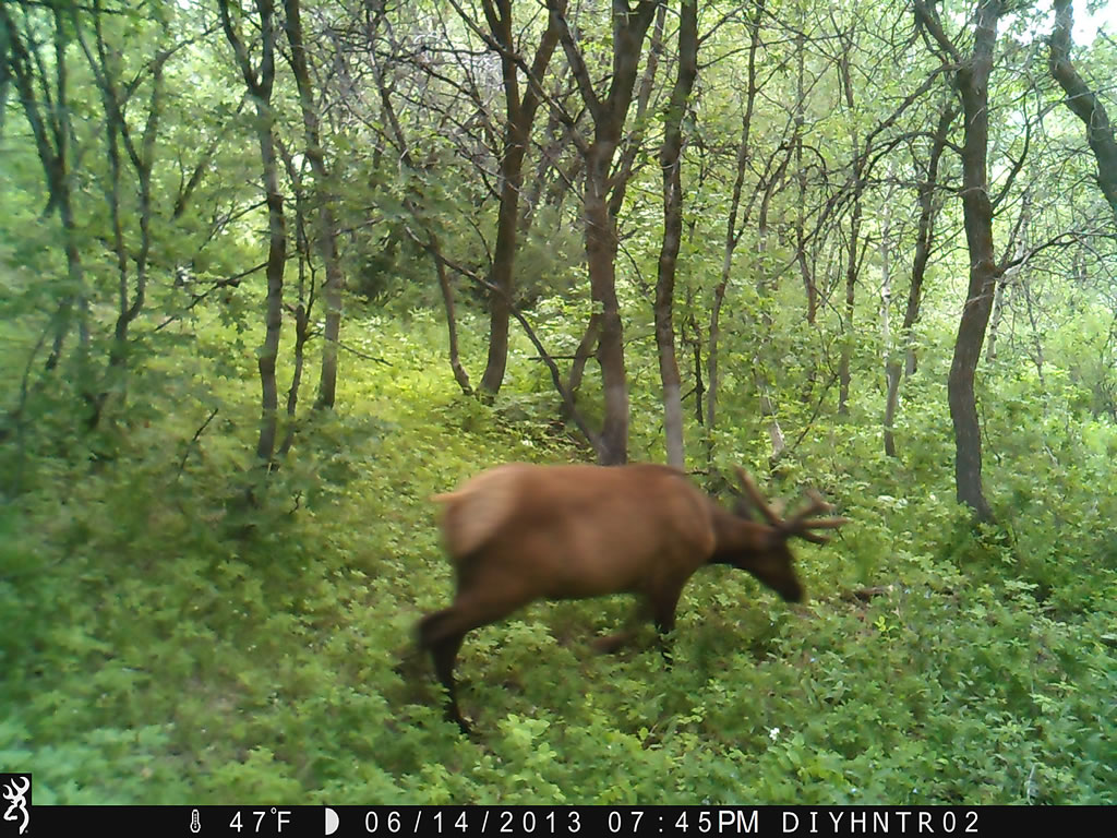 4x4 Bull Elk Browning Range Ops Trail Camera Image 4