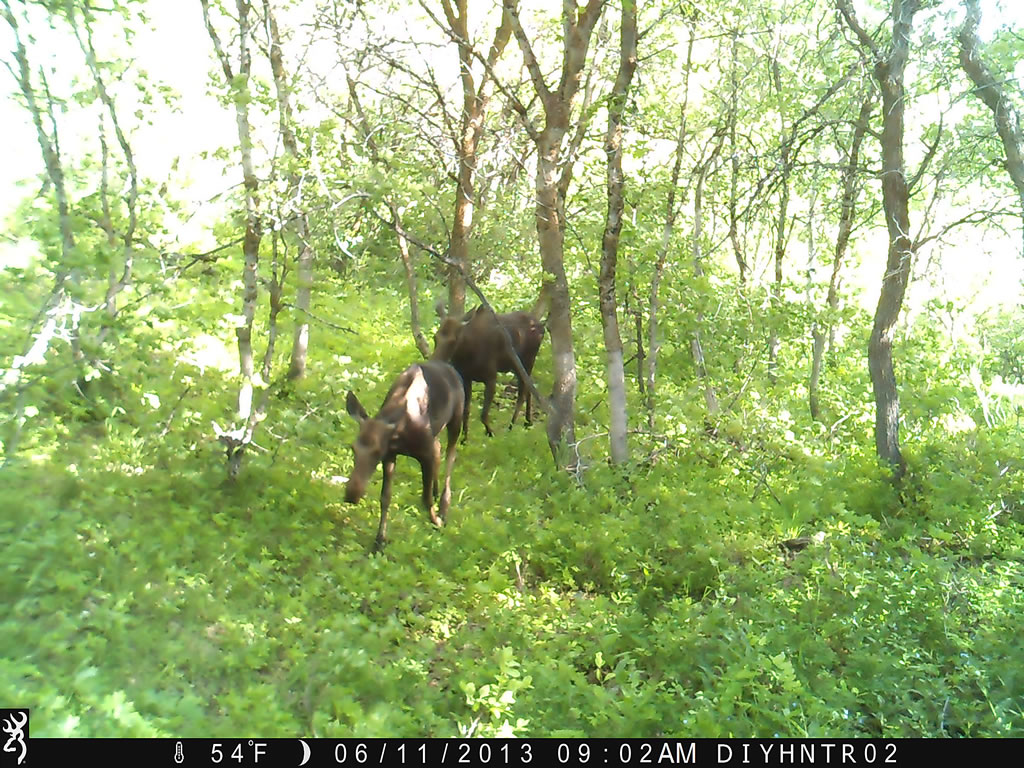 Moose with Browning Range Ops Trail Camera