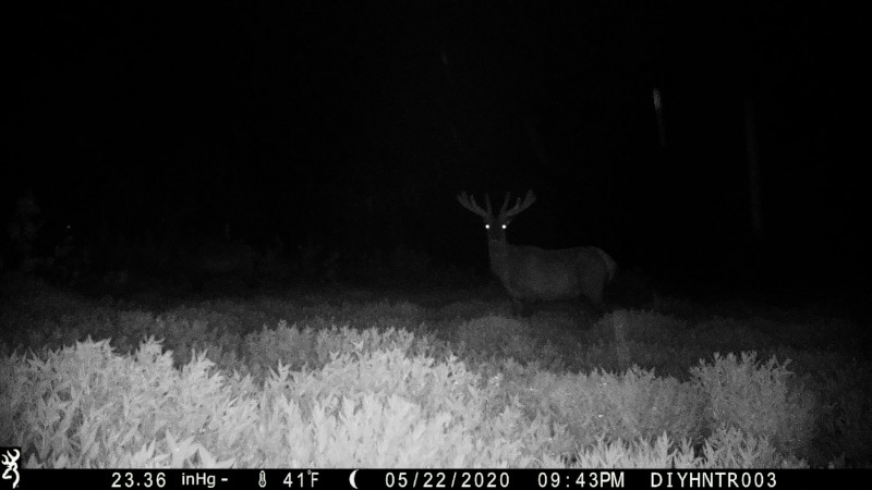 HD image of a Elk from a Browning Defender Wireless Cellular Trail Camera