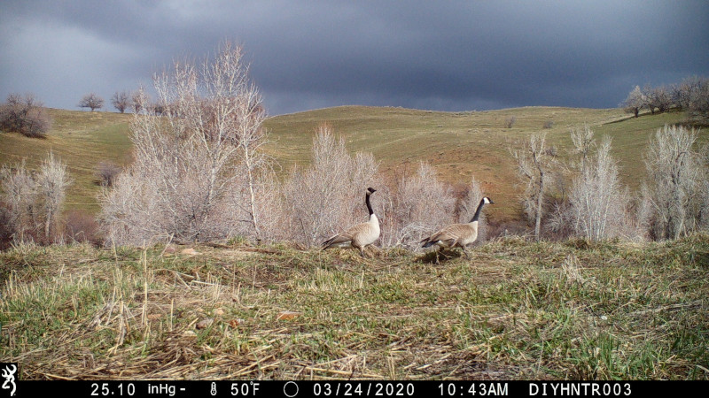HD image of  Canada Geese from a Browning Defender Wireless Cellular Trail Camera
