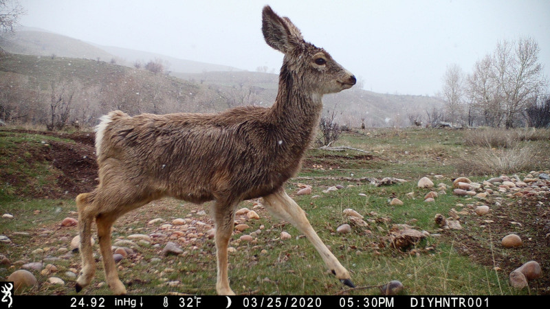 HD image of a Mule Deer Fawn from a Browning Defender Wireless Cellular Trail Camera