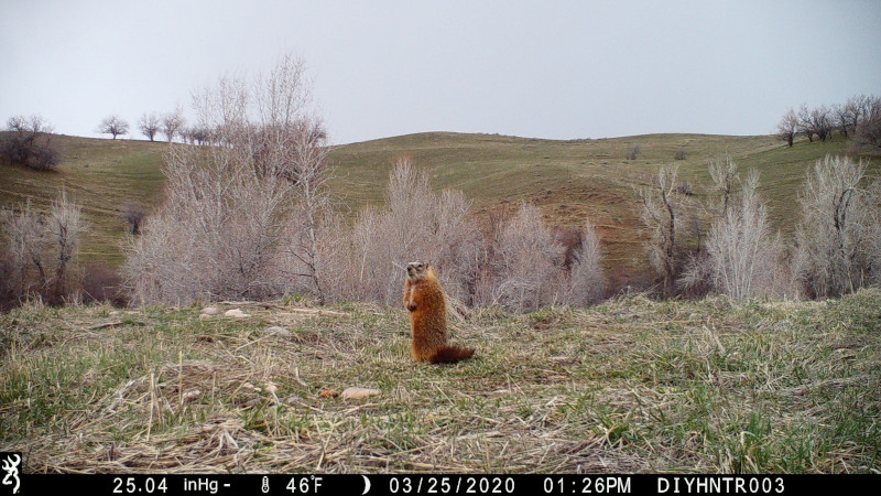 HD image of a Rock Chuck from a Browning Defender Wireless Cellular Trail Camera