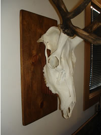 European elk skull mount